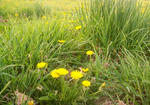 Dandelions growing in my neighbor's pasture