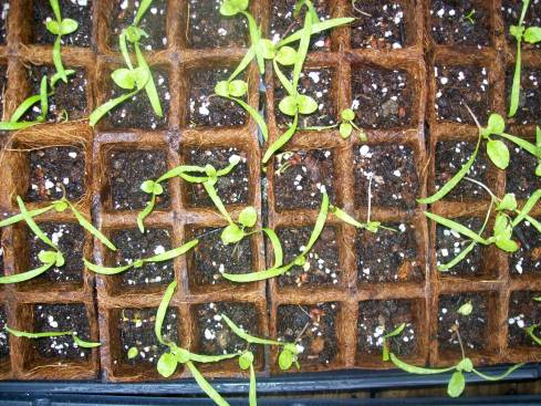 My gangly flat-started spinach seedlings